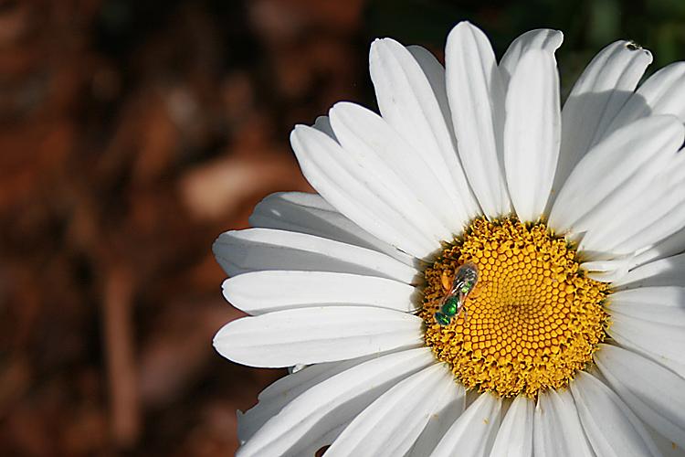 Daisy with a blue bug